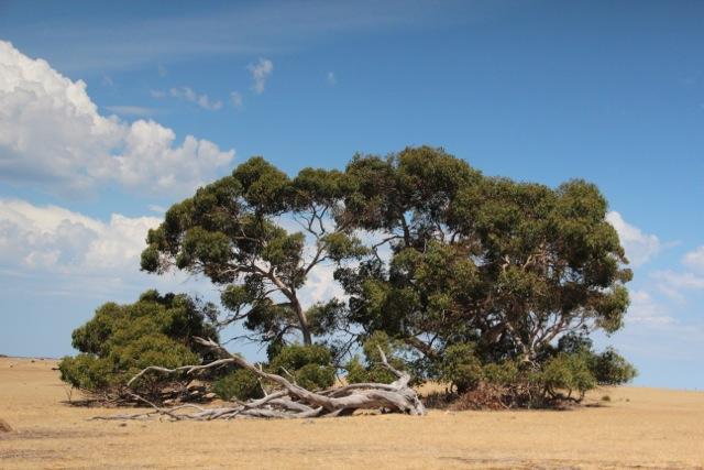 In Gum-Trees wie diesem suchen Kängurus oft Schutz vor der Hitze des Tages