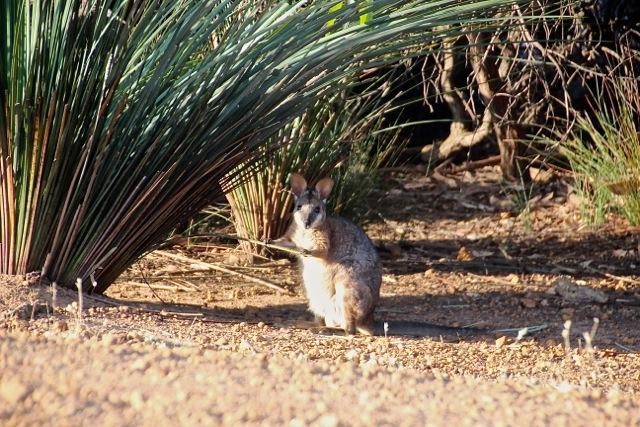 Ein Wallaby hockt unterm Grasbaum,