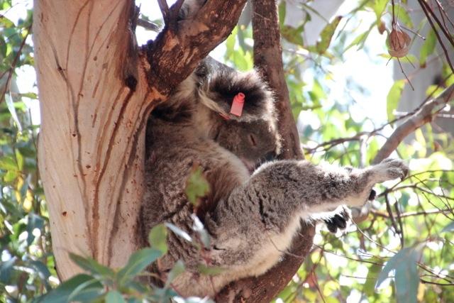 Rote Plaketten markieren sterilisierte Koala-Weibchen