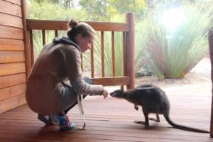im Hotel kommt ein Wallaby neugierig heran gehüpf
