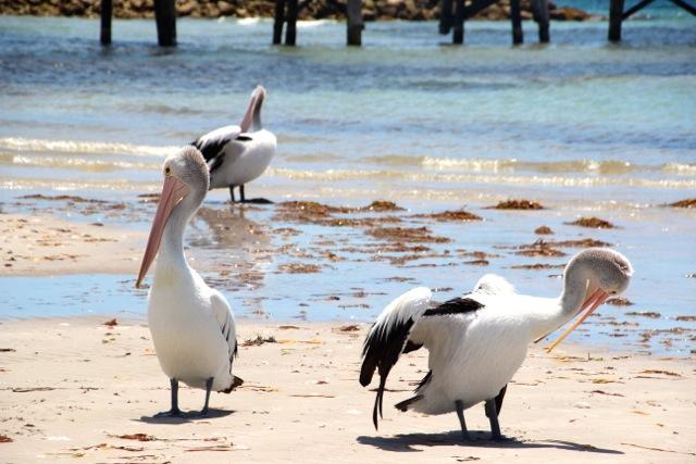 die Pelikane von Emu Bay