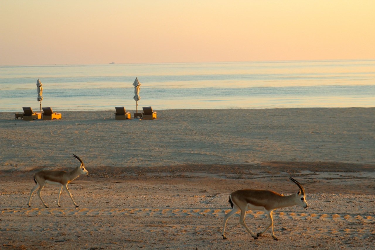 etwas ganz normales auf Sir Bani Gas: Gazellen am Strand