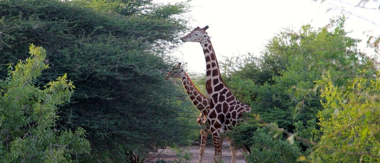 Giraffen auf Sir Bani Yas