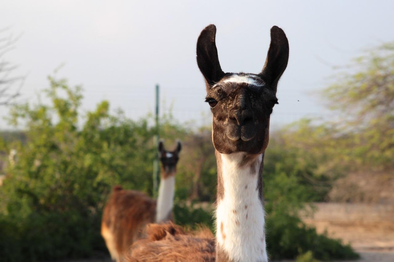 und wir treffen auf noch neugierigere Lamas